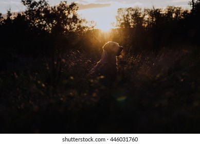 Side view of adult pet dog labrador meeting sunset in park