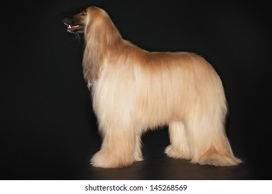 Side view of an Afghan hound standing against black background