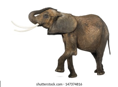 Side view of an African elephant lifting its trunk and leg, isolated on white