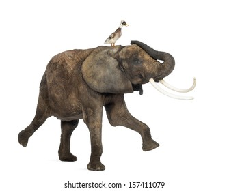 Side view of an African elephant performing with a crested duck on its back, isolated on white