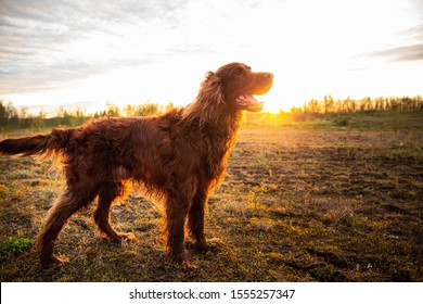 Side view of alert curious wet Irish Setter dog with open mouth standing on yellow grass and looking away in meadow against blurred scenery of countryside during dusk in fair weather