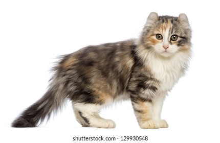 Side view of an American Curl kitten, 3 months old, standing and looking at the camera in front of white background