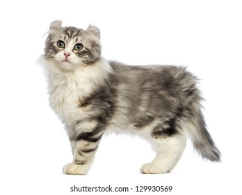 Side view of an American Curl kitten, 3 months old, in front of white background
