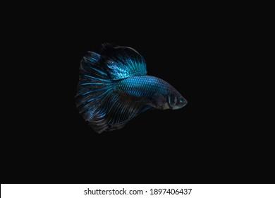 Side view angle of Black Blue Mamba Avatar halfmoon betta splendens siamese fighting fish isolated on black color background. Image photo