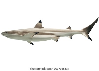 Side view of Australian blacktip shark, Carcharhinus tilstoni, isolated on white. Is a species of requiem shark, family Carcharhinidae, endemic to northern and eastern Australia. Copy space.