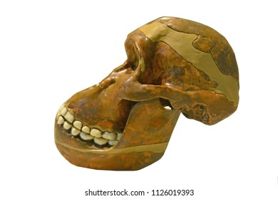 Side view of Australopicanthus skull, one of man's earliest ancestors from Africa. Isolated against a white background
