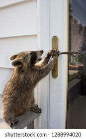 Side view of a baby raccoon trying to open a door.