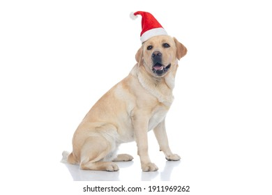side view of a beautiful labrador retriever dog sticking out tongue and wearing a christmas hat on white background