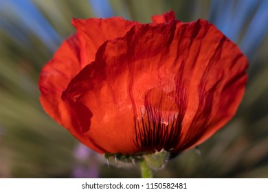 Side view of big red poppy with soft focus background. Original flower photography shot locally at Kendrick Lake Park, in Lakewood, CO May 2018.