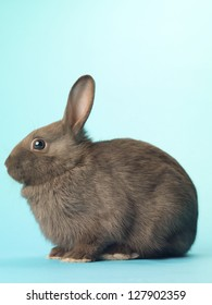 Side view of a black bunny sitting over turquoise.
