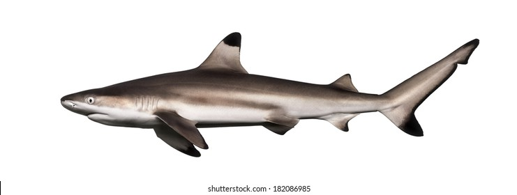Side view of a Blacktip reef shark, Carcharhinus melanopterus, isolated on white