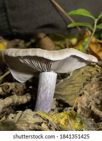 Side view of the blewit or clitocybe nuda showing gills and skirt-free stem.