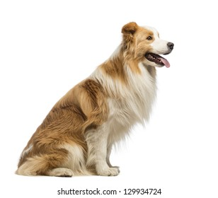 Side view of a Border Collie, 1.5 years old, sitting and panting in front of white background