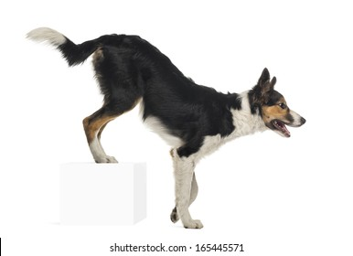 Side view of Border collie, rear legs up on a cube, isolated on white