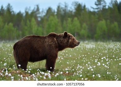 Side view of brown bear. Adult male brown bear at summer.