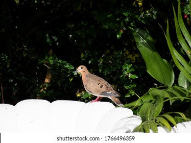 Side view of brown, black and white zenaida dove with pink feet standing on top of a white chair against a background of green leaves and plants in a garden. Great for bird, animal or nature images.