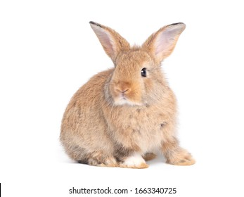 Side view of brown cute baby rabbit sitting isolated on white background.