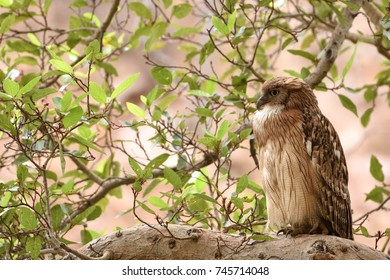 Side view of Brown Fish Owl resting on tree perch in Ranthambore national park