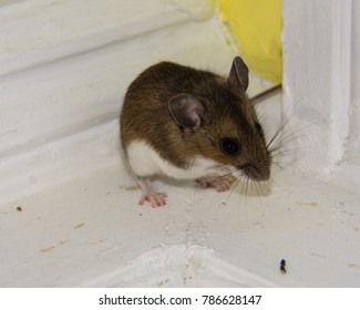 Side view of a brown house mouse cornered on a dirty white windowsill.  Droppings are visable in the foreground and the wall behind is bright yellow.