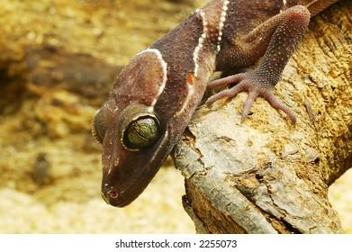 Side view of an brown lizard's head
