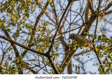 Side view of a brown-eared bulbul perched on branch of tree