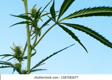 Side view of a bush of marijuana with flowers, against blue sky. Cannabis plant to treat patients and drugs against pain. Hemp grows wild in summer. Empty place for copy space.