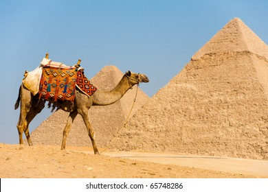 Side view of camel wearing colorful saddle walking in front of the Great Pyramids of Cheops and Khafre at Giza in Cairo, Egypt