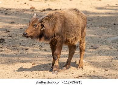 Side view of a cape buffalo calf, Syncerus caffer caffer