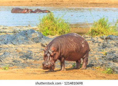 Side view of Cape hippopotamus or South African hippopotamus standing in natural habitat, Kruger National Park, South Africa.