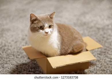 Side view of a cat sitting in too small cardboard box and looking to the side