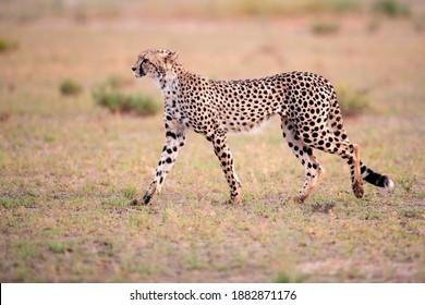 Side view of Cheetah, Acinonyx jubatus  walking in arid savanna. Typical Kalahari environment a few weeks after green season. On safari in the valley of Nossob river, Kgalagadi transfrontier park.