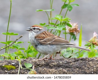 Side view of a chipping sparrow (Spizella passerina) with mouth open