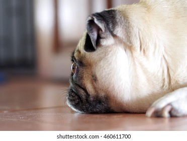 side view close up focus at the eye of a small white fat pug dog with expression of thinking, unhappy, lonely and looking for love and friends