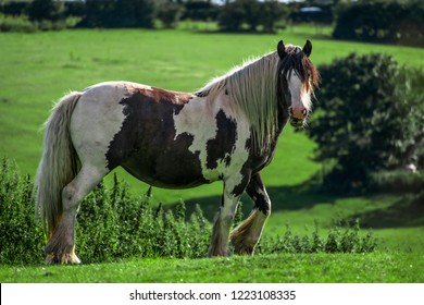 Side view Closeup of Beautiful hairy Pinto brown Horse looking at camera and eating grass in a green field in springtime. farm nature view