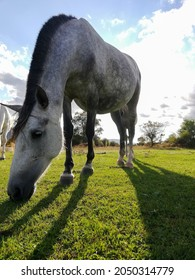 Side view Closeup of Beautiful white grey Horse grazing in a meadow and eating grass in a green field