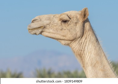 Side view Close-up of a desert dromedary camel facial expression with its mouth and teeth showing in Middle East in the UAEwith a look at the hairy detail. Dromedary camel (Camelus dromedarius