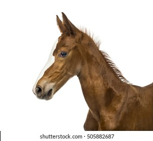 Side view of a close-up of a foal isolated on white