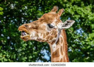 Side view closeup of a giraffe eating and chewing, in front of some leaves, with a shallow depth of field.