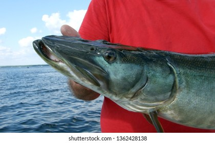 Side view closeup of a head of a beautiful dark blue-green muskie fish being held by a barehanded angler on a boat in a lake on a partly cloudy day