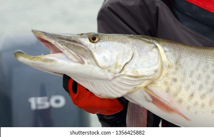 Side view closeup of a head of a silver and spotted muskie fish being held by a gloved-handed angler on a boat in a lake on a cloudy day