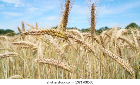 A side view closeup of triticale ears, a hybrid of wheat and rye and a high-fiber, high-protein grain, in the field on a hot summer day. Ready to be harvested as whole crop silage for a dairy farm