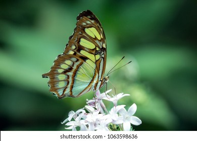 Side view of a colorful green and brown Malachite Butterfly feeding on nectar from flowers at a butterfly farm,Panama. Scientific name of this insect is Siproeta stelenes. Native to Central America.