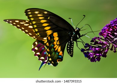 A Side view of a colorful  male swallowtail butterfly  feeding on purple blossom of butterfly bush, with green lawn in the background.