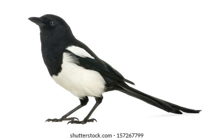 Hawking (and spitting too) Side-view-common-magpie-pica-260nw-157267799