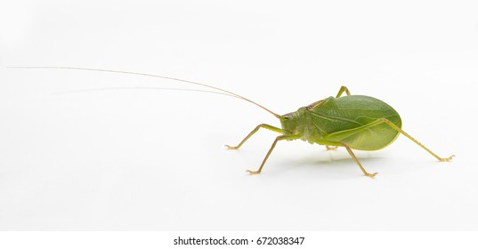 Side view of a Common True Katydid (Pterophylla camellifolia) on a white background