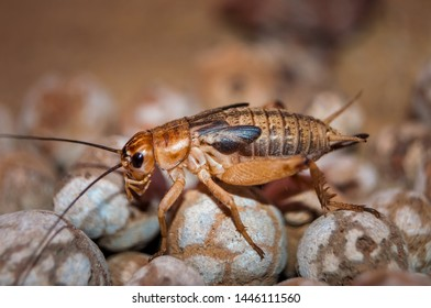Side view of Cricket. Crickets are insects of the Gryllidae family