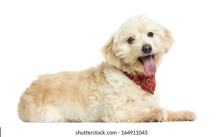 Side view of a Crossbreed dog wearing red bandana, isolated on white