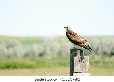 Side view of a curious hawk sitting on a fence post in rural Montana