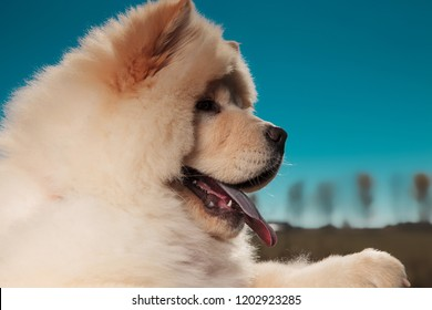 side view of a cute chow chow puppy dog's furry head, panting against blue sky