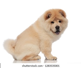 side view of cute chow chow sitting on white background and panting
